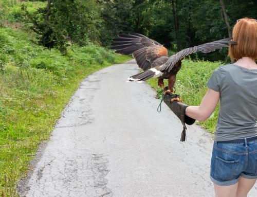 Atemberaubender Greifvogel Spaziergang bei den skyhunters im Sauerland